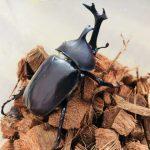 カブトムシってどんな昆虫?