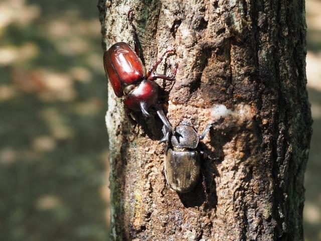 カブトムシの繁殖